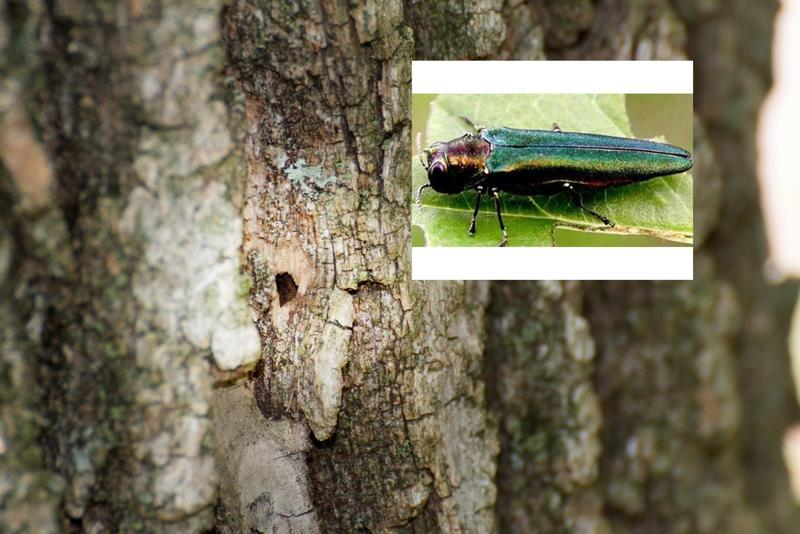 The emerald ash borer was first found in the St. Louis area last summer.