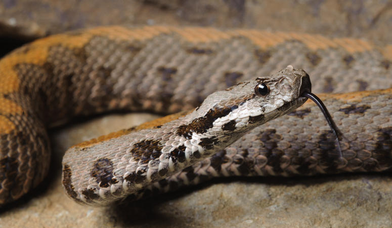 The Armenian viper is one of 30 endangered species of amphibians and reptiles in Armenia. A new crowd-funding campaign aims to start a new conservation center to save them.