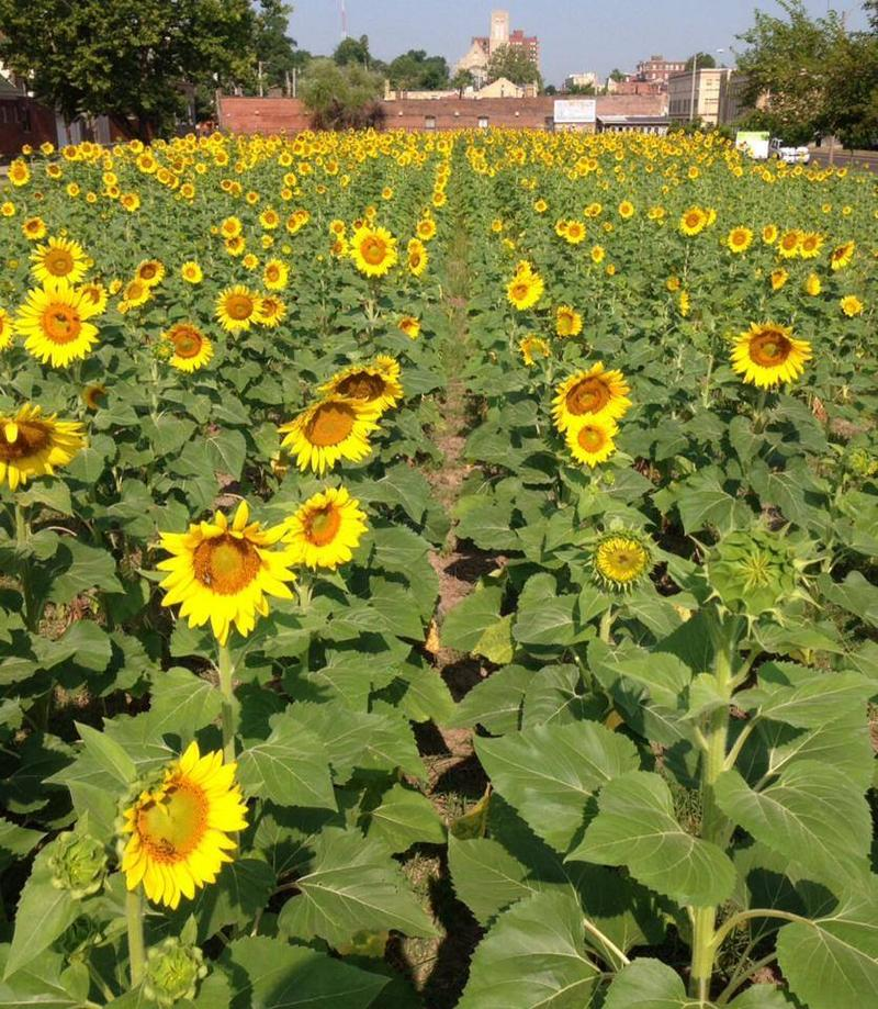 Sunflowers on Delmar Blvd.