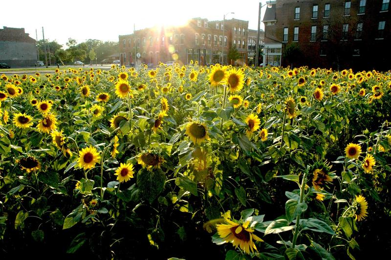 Click through this gallery to see pictures of sunflowers from the different sights of the Sunflower+ Project. This is a photo from the Old North site in 2014.