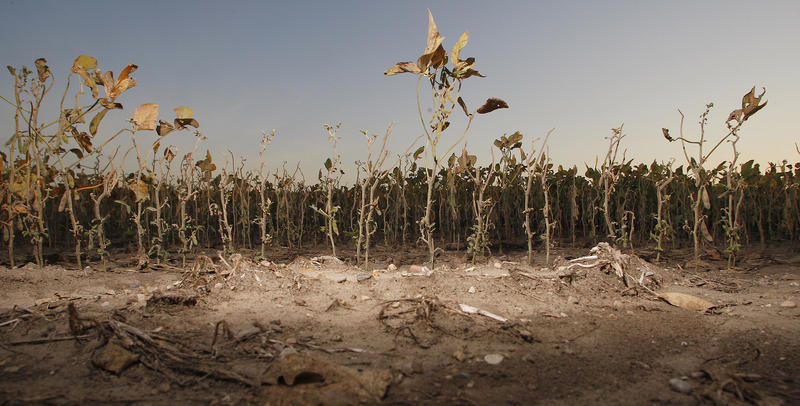 The drought of 2012 took its toll on agriculture across the Midwest, including this soybean field near Dayton, Indiana.