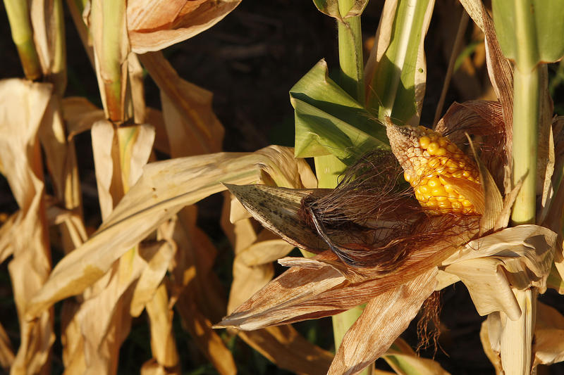 High temperatures and too little water can damage developing corn, like this ear stunted in the 2012 drought.