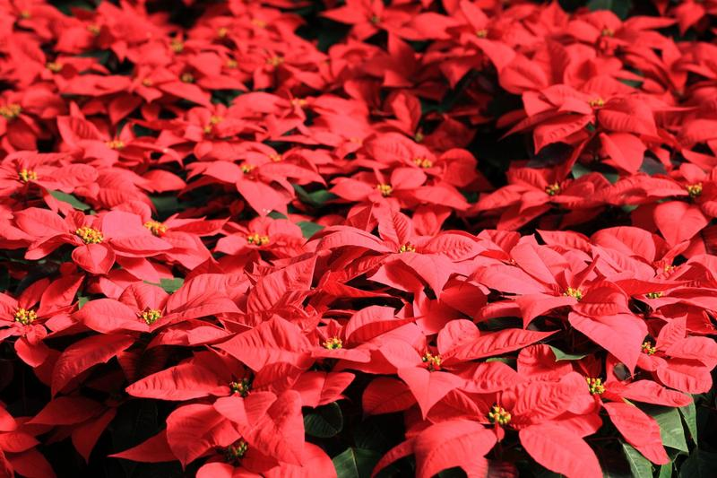 Americans buy more than 30 million poinsettias every year.