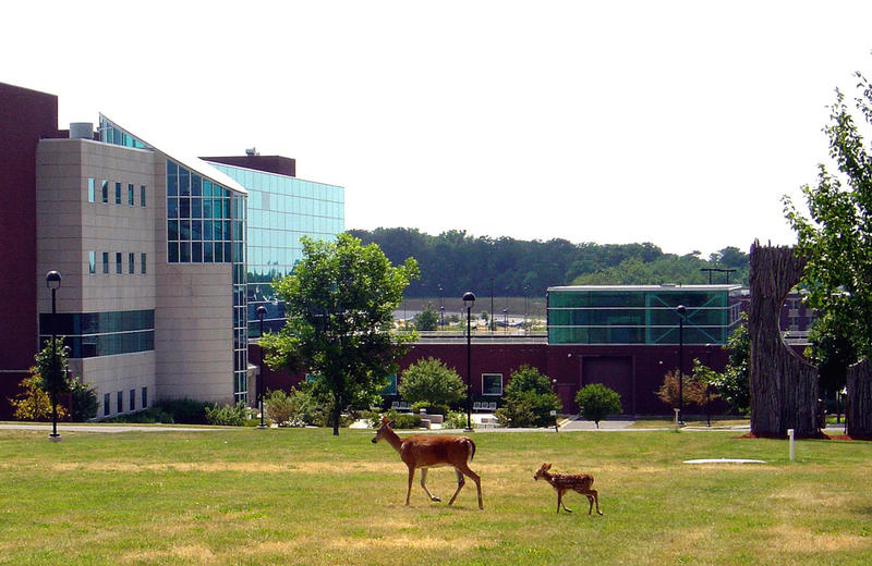 Deer visit the SIU-Edwardsville campus.