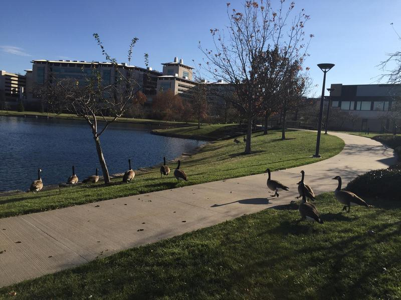 Geese stroll (and poop) around a small lake behind the Kauffman Foundation Center in Kansas City.