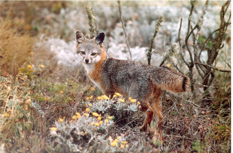The Saint Louis Zoo's Cheryl Asa's work with the island foxes got her thinking about ways