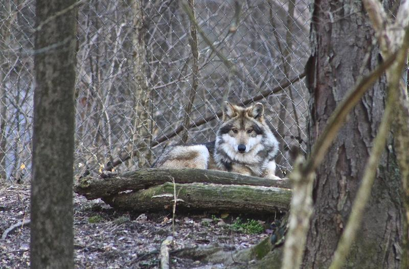 Lazarus, a male Mexican wolf, at the Endangered Wolf Center in Eureka.