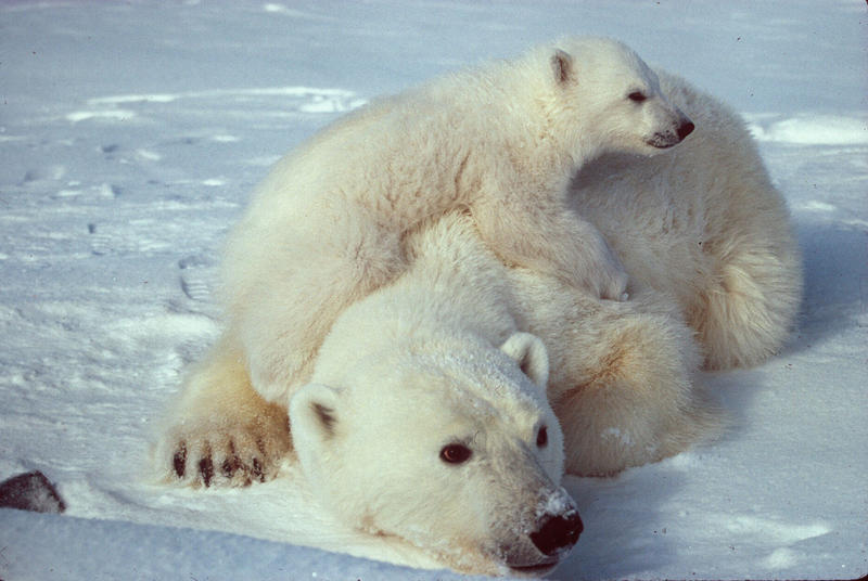 A Polar Bear mother and her cub.