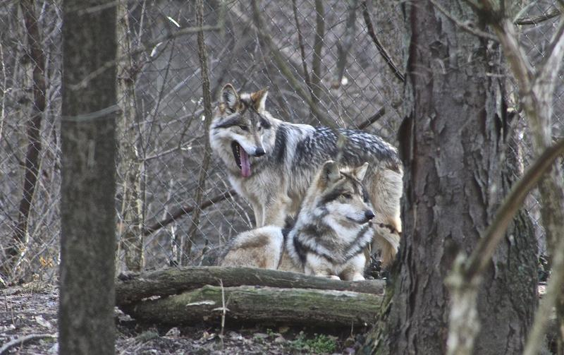 Lazarus, a male Mexican wolf, rests while his pup stands at alert. Researcher Cheryl Asa says wolves tend to be monogamous and the males are dedicated fathers.