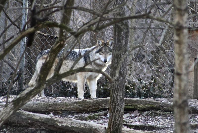 The enclosures at the wolf center are large and wooded so