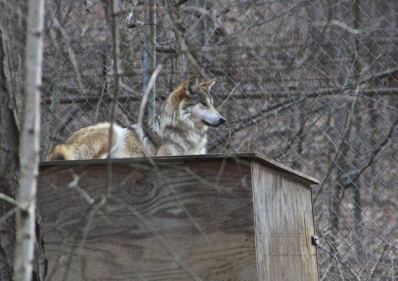 Sibi, a female Mexican wolf, likes to rest above her den at the Endangered Wolf Sanctuary.