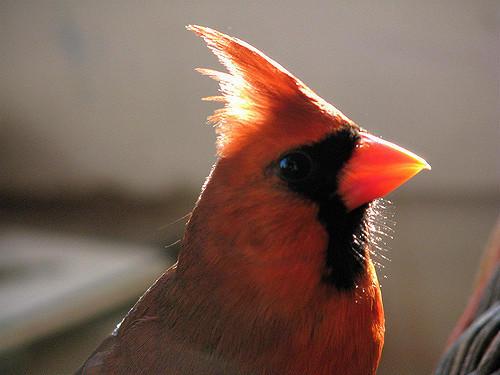 Cardinal Rehabber