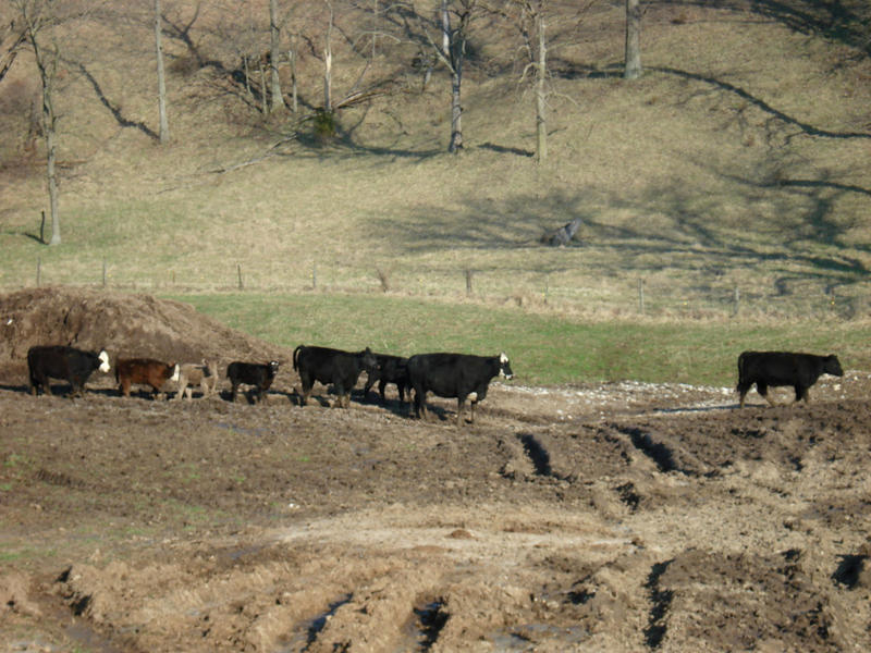 Cattle head to a barn.