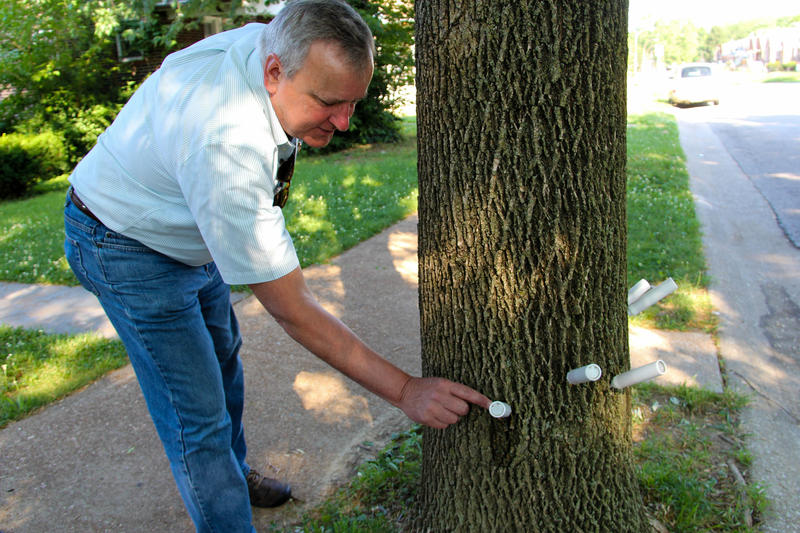 Forestry Commissioner Skip Kincaid points out the insecticide injections given to a tree in north St. Louis.