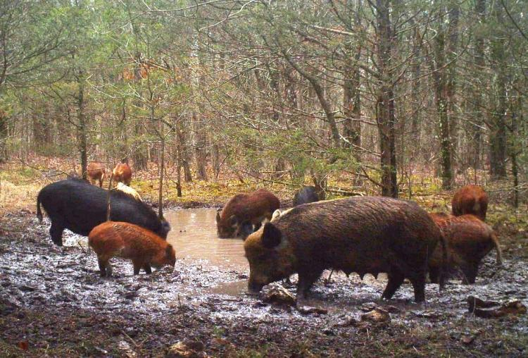 These destructive feral hogs pollute a pristine spring in Ozark County.