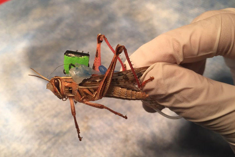Sensors placed on the insect monitor neural activity while they are freely moving, decoding the odorants present in their environment.