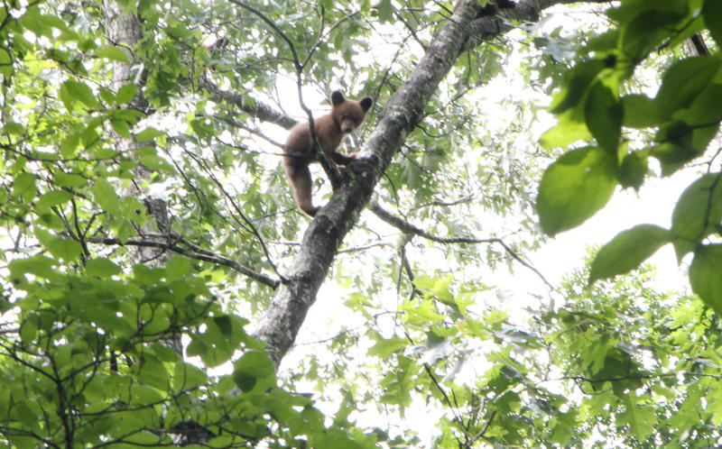 A bear cub observes the Conservation Department team from the safety of a tree branch.