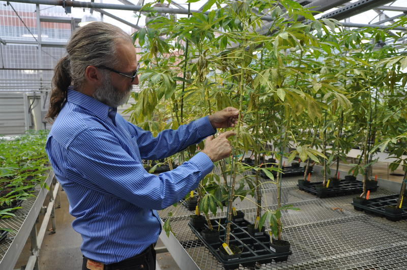 Nigel Taylor, the principal investigator for the VIRCA project, checks the stems of cassava plants at the Donald Danforth Plant Science Center in Creve Coeur.