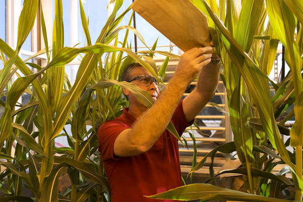 Daniel Warnock, a controlled environmental system improvement scientist, demonstrates the process used to pollinate corn at the Monsanto Chesterfield Research Center.