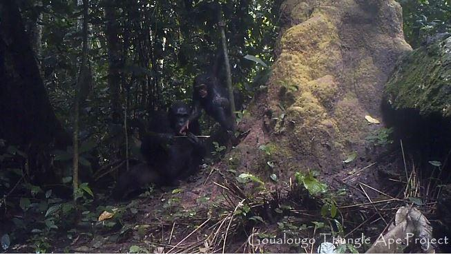An adult female chimpanzee arrives at a termite nest with two fishing probes. She transfers one fishing tool to her offspring, who uses it to fish for termites, while keeping the other tool for her own use.