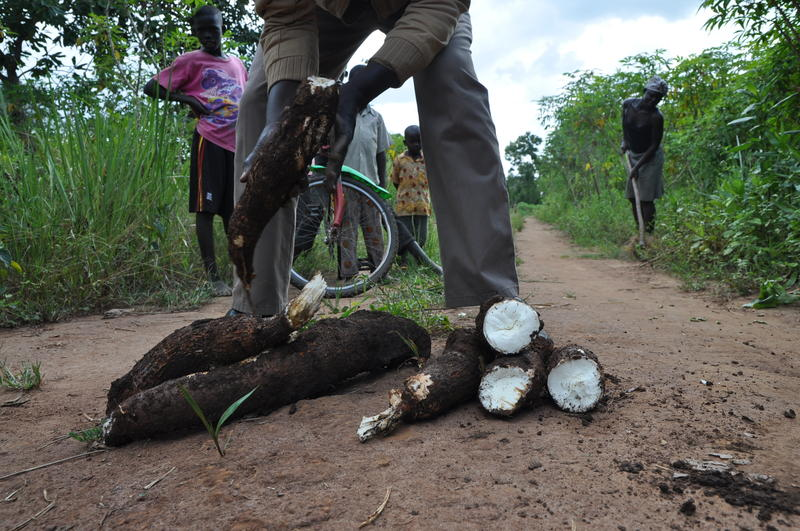 Michael Okello arranges his cassava harvest, untouched by viruses.