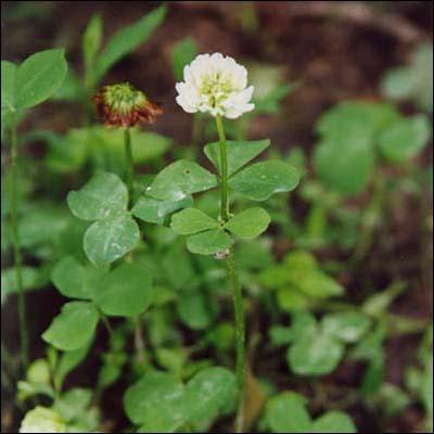 The endangered running buffalo clover.