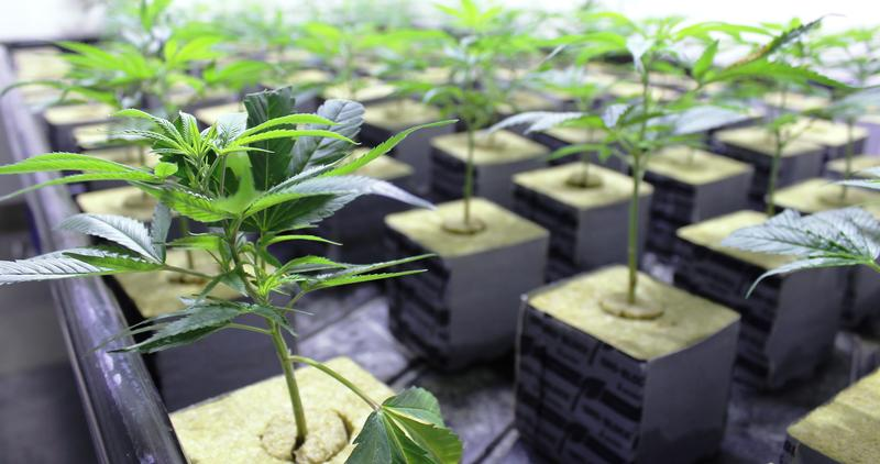 Dozens of cannabis clones grow under high-intensity lights at BeLeaf's growing and processing facility in Earth City, Mo.
