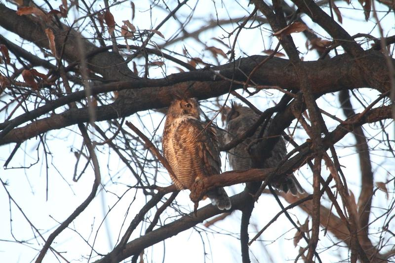 "Charles and Samantha, the new ""it"" couple from the community of Great Horned Owls in Forest Park."