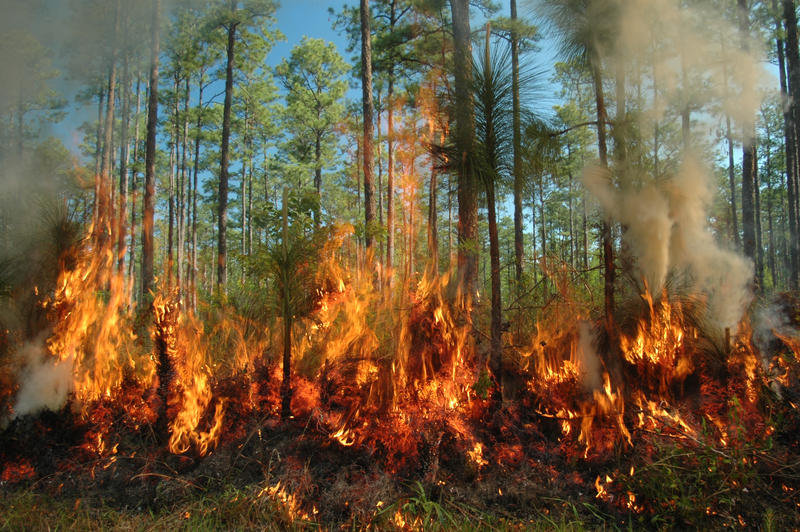 A forest fire ignited by scientists at Camp Whispering Pines, Louisiana.