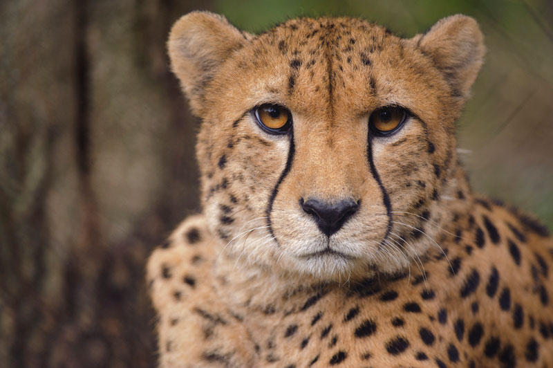 Cheetah populations have declined globally, despite conservation efforts.