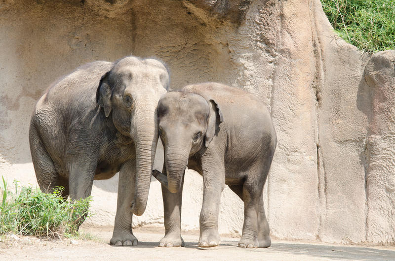 Asian elephants Sri and Jade in their enclosure at the Saint Louis Zoo in 2015.