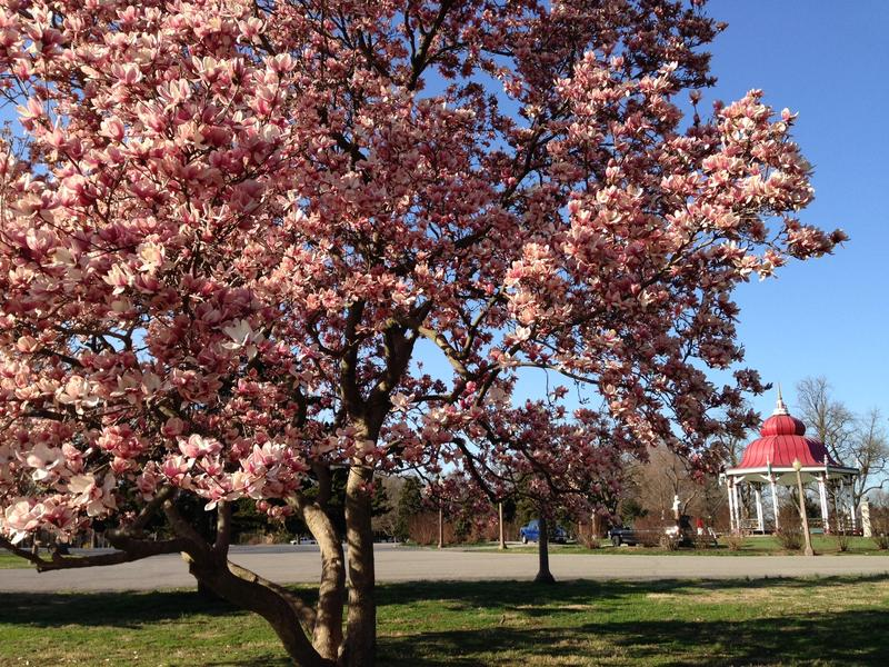 A magnolia tree in full bloom at Tower Grove Park in March 2017.