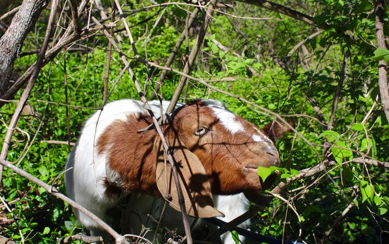 Dipstick the goat chomps away on honeysuckle at Willoughby Heritage Farm in Collinsville. April 2017