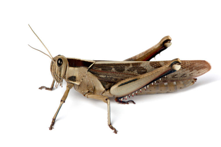 Engineers at Washington University used locusts to test a nasal spray that could be used to treat brain cancer and other diseases.