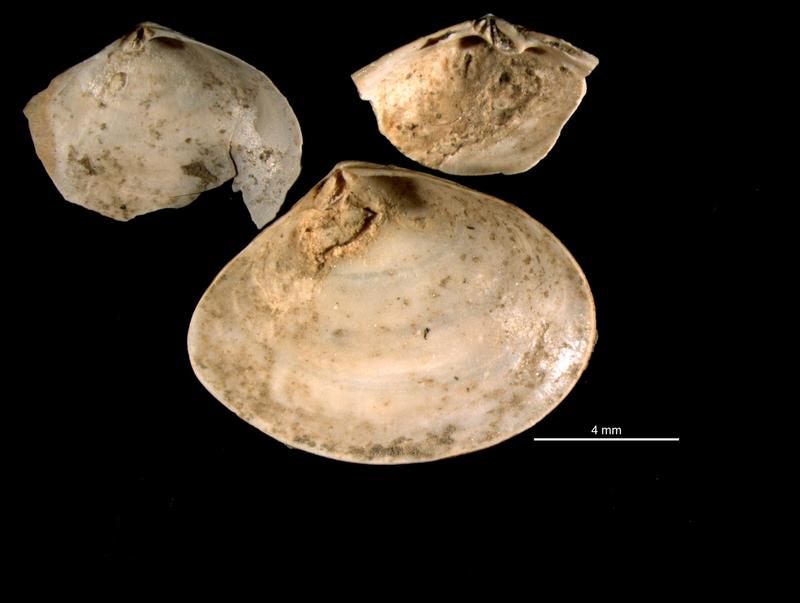 Mizzou researchers studied fossils of clams called Abra segmentum valves that had been infected by trematodes, collected from nothern Italy.