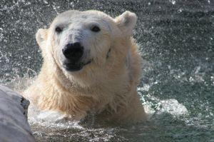 2008 photo of Hope, the polar bear at the St. Louis Zoo. 300 pxls