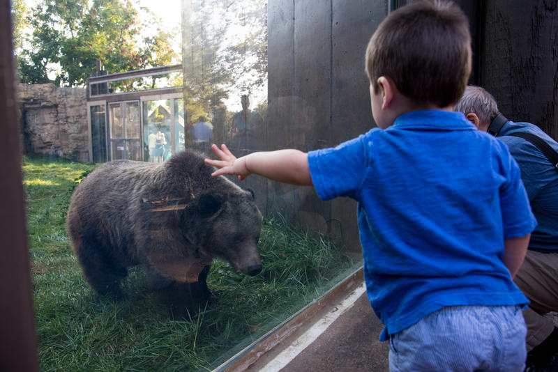 A child looks at one of two grizzly bear cubs at the St. Louis Zoo in September 2017.