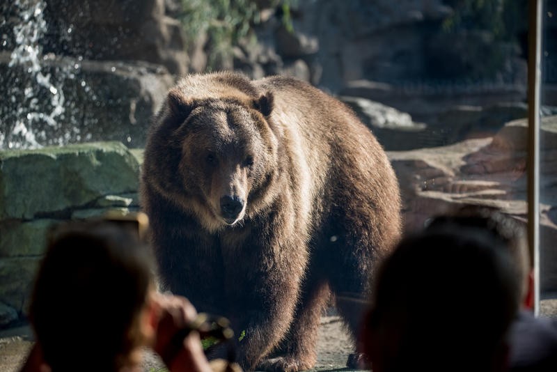 Two grizzly bear cubs arrived at the Saint Louis Zoo in the summer of 2017.