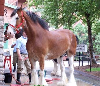 Clydesdale gets washed down at brewery