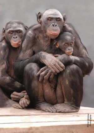 Baby Lucy, a bonobo) is cradled by her mother, as sister Lexi looks on.