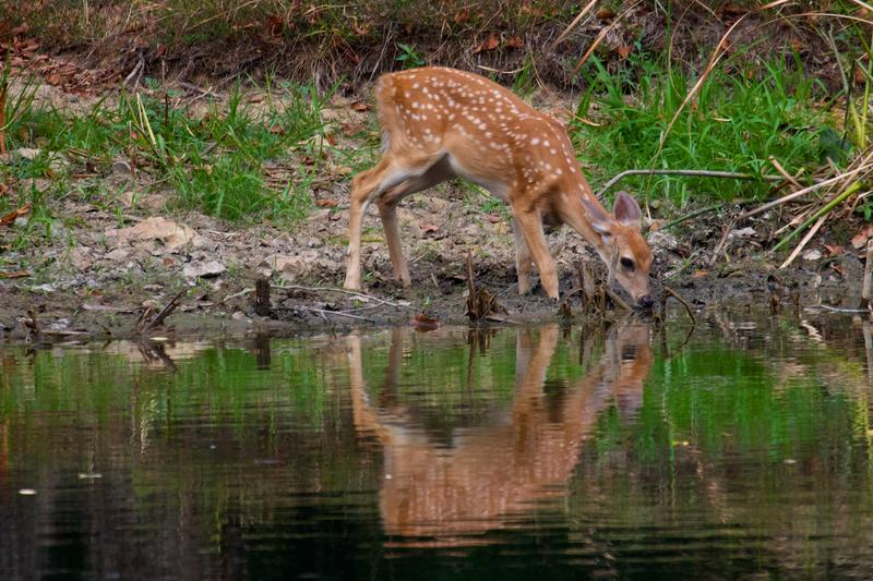 42 cases of chronic wasting disease, a fatal neurological disease, has been found in white-tailed deer in Missouri.