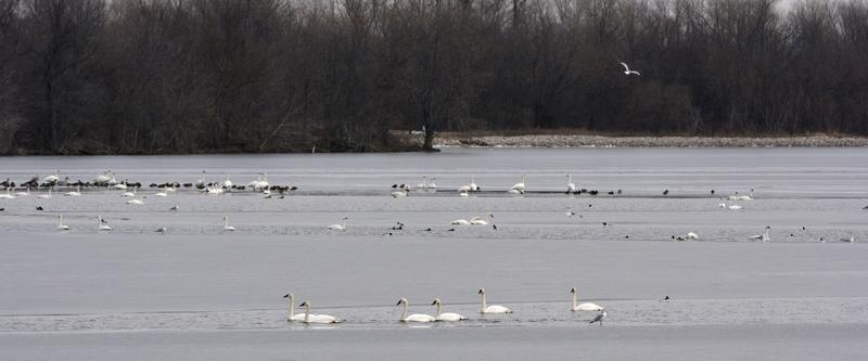 Randy Korotev , a research professor at Washington University, is a leading a count on New Year's Day at the Riverlands Migratory Bird Sanctuary in West Alton. It's one of about 20 happening in the state.