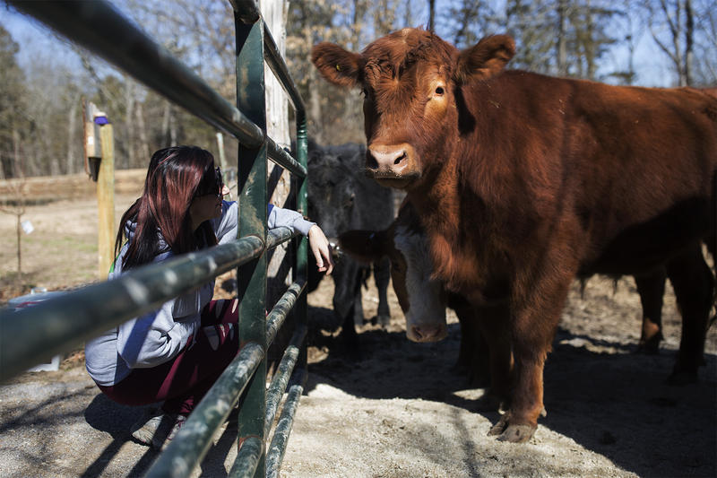 A volunteer greets Chico, one of the six St. Louis steers who escaped the slaughterhouse and now live at The Gentle Barn. March 3, 2018