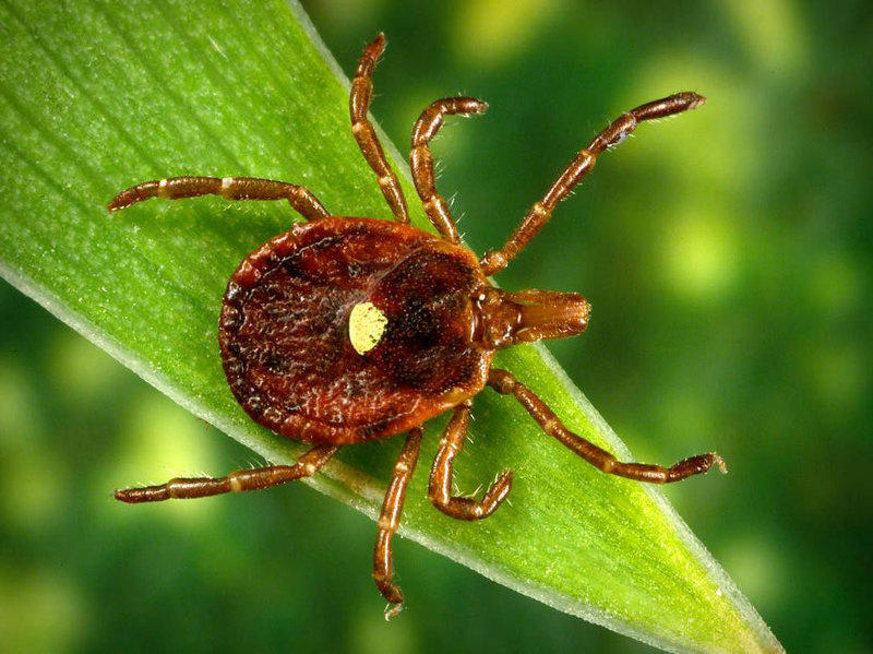 The lone star tick is an important vector of a number of diseases, including the heartland virus and ehrlichiosis.