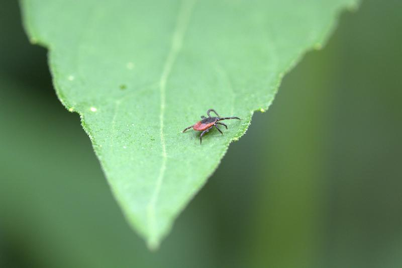 A deer tick, one of the most common ticks in the Midwest and the carrier of several diseases, such as Lyme Disease.