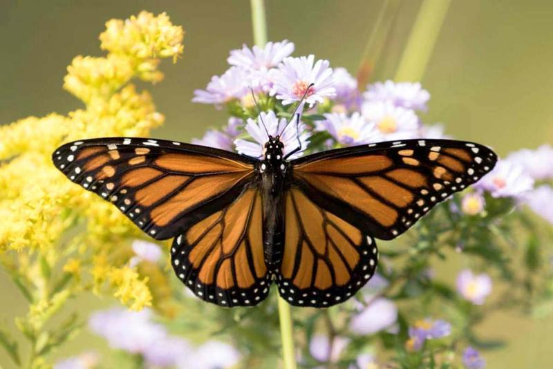 Conservationists say the population of Monarch butterflies has been declining since the late 1990s.