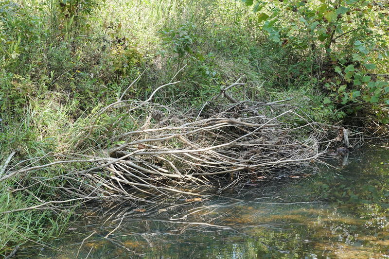 Branches hold a streambank in LaBarque Creek stable to prevent erosion. Oct. 2019