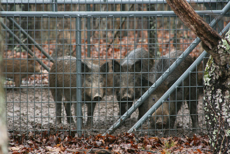 Feral hogs in a corral-like trap.