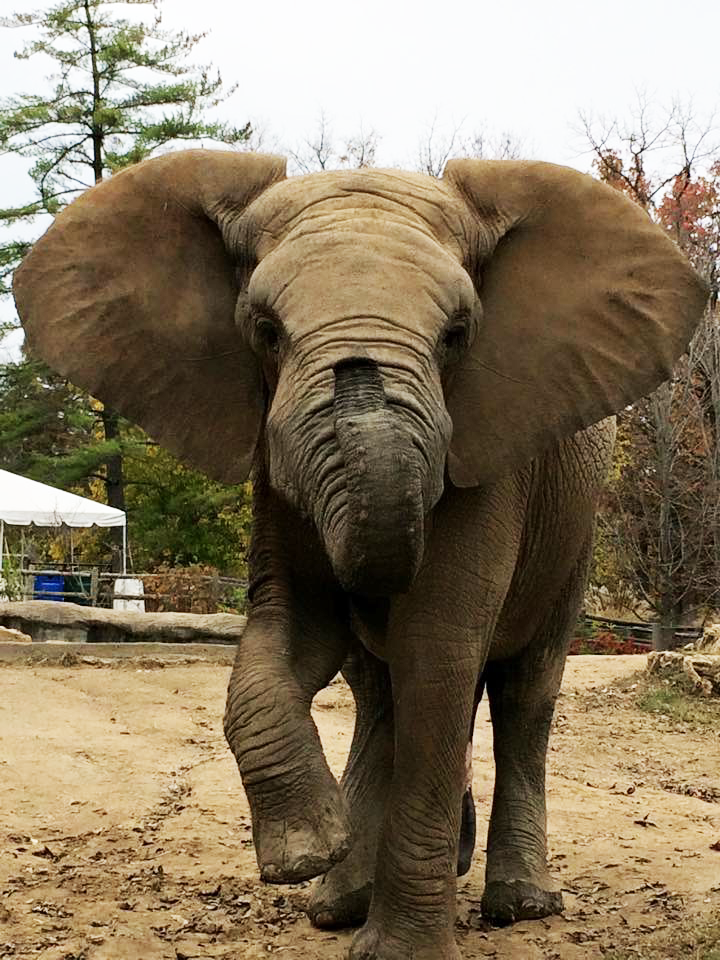 Max, a 14-year-old African elephant, at Grant's Farm.