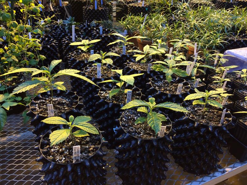Seedlings of a rare Tanzanian tree, the Karomia gigas, in a greenhouse at the Missouri Botanical Garden.